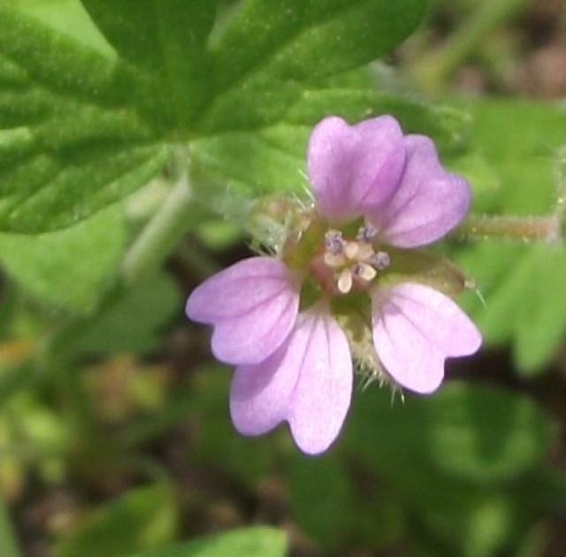 Bodziszek kosmaty  - kwiatek różowy, składający się z czterech płatków sercowatych o średnicy 1 cm.  Roślinkę spotkamy  na polach, łąkach w okresie maj - wrzesień.