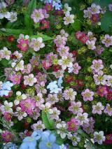 Skalnica - królowa skalniaków - bylina, którą obsadza się ogrody skalne