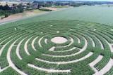 Kukurydziany labirynt w Pisarzowicach prawie gotowy. Zwiedzanie już w październiku!