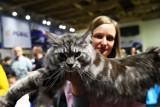 Wystawa Kotów. XXV i XXVI Międzynarodowa Wystawa Kotów w Łodzi. Kocie piękności zawładnęły halą Anilany. Zobacz zdjęcia!