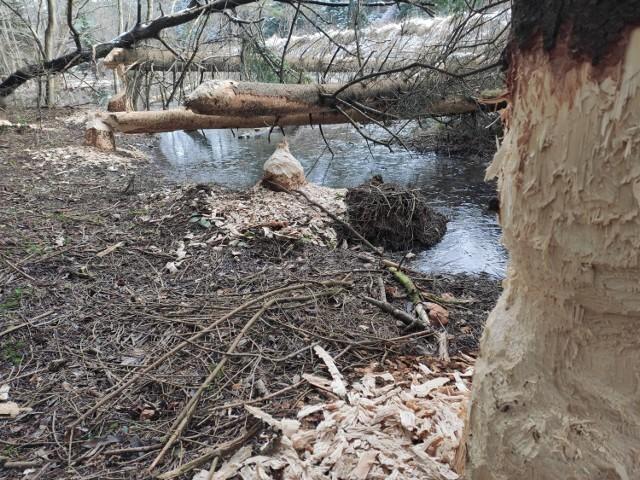 Tylko w Radocynie można podziwiać tak duże żerowisko bobrów