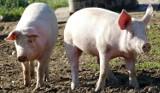 Hodowla świń. Czy się jeszcze opłaca? Sprawdź, jak kształtują się ceny skupu trzody chlewnej