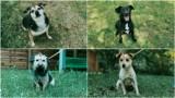 Tarnów. Pieski z Tarnowskiego Azylu dla Zwierząt czekają na nowy dom. Kto je adoptuje? [WRZESIEŃ 2021]