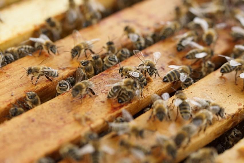 Dzisiaj Nietypowe Święto. Wielki Dzień Pszczół - 8 sierpnia
