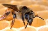Pszczelarze mogą składać wnioski o dotacje. Dziś też Wielki Dzień Pszczół!