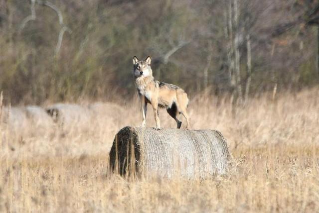 Wilk sfotografowany w lasach niedaleko Świebodzina