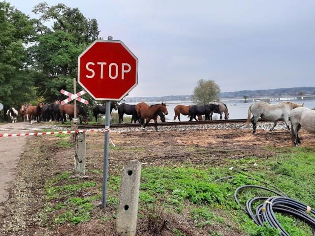 Konieczna była akcja strażaków, aby przetransportować konie z zalanych łąk koło Połupina na ląd.