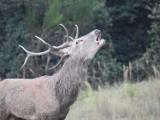 Dostojnie spacerował i... patrzył prosto w obiektyw. Król polskich lasów ustrzelony niedaleko Świebodzina!