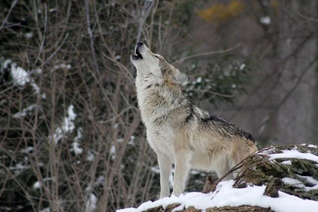 W 2010 roku wilków było ok. 750, pięć lat później liczba ta wzrosła do 1,5 tys., by w 2019 roku przekroczyć 3 tysiące osobników (dane GUS za GDOŚ, raport Ochrona środowiska 2020)