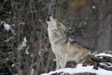 Gminy Lubiewo i Sępólno ostrzegają przed wilkami. Bagatelizowanie może doprowadzić do tragedii!