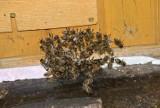 Znikają robinie akacjowe, a z nimi całe pszczele pasieki. W innych spada produkcja