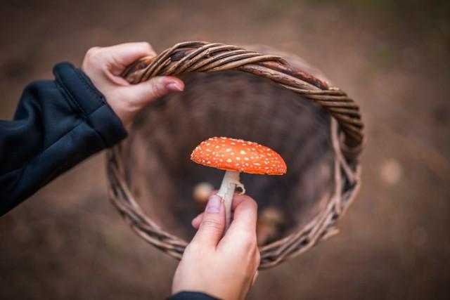Zbierając grzyby łatwo popełnić błąd, który może mieć fatalne skutki. Niektóre toksyczne gatunki nie są tak charakterystyczne, jak muchomor czerwony (na zdjęciu), tylko łudząco podobne do tych jadalnych. Ich odróżnienie bywa trudne nawet dla doświadczonych grzybiarzy!   Sprawdź, które trujące grzyby łatwo pomylić z gatunkami kulinarnymi!   Zobacz kolejne slajdy, przesuwając zdjęcia w prawo, naciśnij strzałkę lub przycisk NASTĘPNE.
