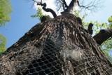 Dąb Chrobry z Nadleśnictwa Szprotawa jest martwy. Nie udało się go uratować po pożarze