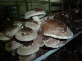 W Polsce uprawiane są grzyby, które... leczą groźne choroby, także wirusowe. ZDJĘCIA
