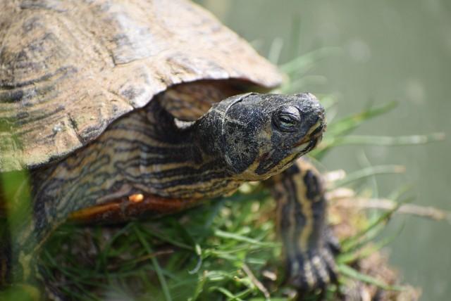 Żółwie z Sieradza