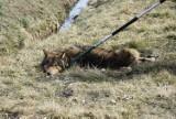 Wilk, żmija, niedźwiedź... Co robić, gdy spotkamy dzikie zwierzę? Zobaczcie, jak uniknąć ataku!