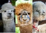 Szaleństwo fryzur, czyli alpaki na SGGW [zdjęcia]