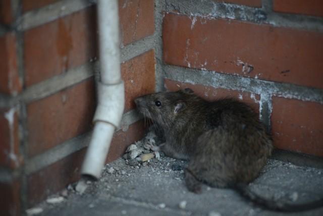 Problem ze szczurami w Poznaniu narasta. Mogą być one niebezpieczne dla człowieka, dlatego ważna jest regularna walka z tymi gryzoniami.