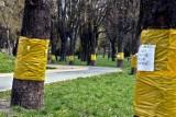 Żółte opaski lepowe  pojawiły się na chełmskich kasztanowcach. To pierwszy etap walki ze szrotówkiem. Zobacz zdjęcia