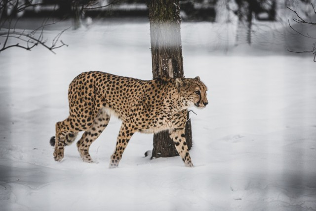 Śląskie zoo w zimowej odsłonie. Zobacz kolejne zdjęcia/plansze. Przesuwaj zdjęcia w prawo - naciśnij strzałkę lub przycisk NASTĘPNE