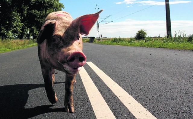 Rolnik ze Studnicy tłumaczył się z posiadania miotu świniodzików. Jak się okazało, jego świnia uciekła z zagrody i w lesie została pokryta przez dzika