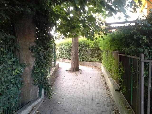 Na pierwszy rzut oka można odnieść wrażenie, że w Ustce drzewa są bardzo szanowane. Jednak ta kilkudziesięcioletnia jodła zostanie wycięta, by nowy chodnik spełniał normy