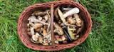 Rozpoczął się sezon na grzybobranie. W podkaliskich lasach można znaleźć piękne okazy. ZDJĘCIA