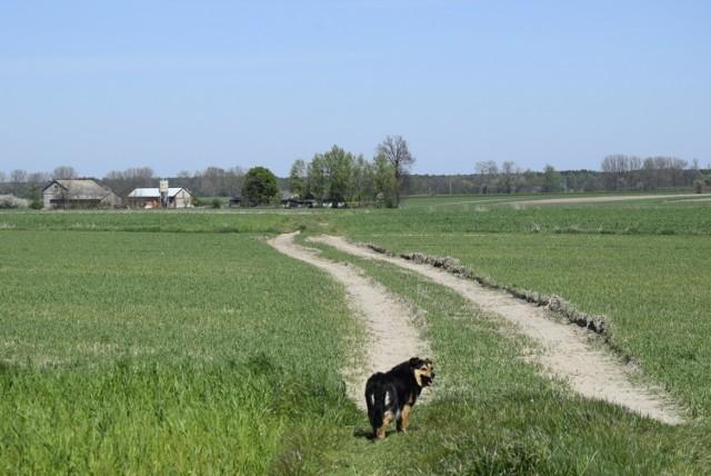 Wytyczony ślad drogi, na pozór polnej, ma prawie 12 metrów szerokości
