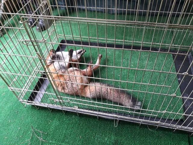 W piątek 26 października, zielonogórska straż miejska została wezwana do Drzonkowa. Pod domem prywatnej posesji był lis. Zwierzak leżał i nie reagował na obecność ludzi. Ze strachu udawał martwego - potrzebował pomocy weterynarza.  Strażnicy miejscy na miejsce zauważyliśmy zwierzę. Lis leżał pod budynkiem i nie reagował na obecność ludzi. Sprzętem do odławiania zwierząt udało się lisa złapać i umieścić w klatce w radiowozie straży miejskiej.  – Jeżeli zwierzę zachowuje się nietypowo dla swojego gatunku, tak jak było w tym przypadku, można podejrzewać, że jest chore lub ranne. W takim przypadku nie należy podejmować prób przepłoszenia go we własnym zakresie. Bezpieczniej będzie jeśli o pomoc poprosi się służby dysponujące odpowiednim sprzętem, wiedzą i doświadczeniem – mówi mł. spec. Przemysław Kulesza, który wraz z mł. spec. Arkadiuszem Janiakiem był na miejscu.  WIDEO: Jak powstał lisi azyl?   Strażnicy mają profesjonalny sprzęt do odławiania i transportu zwierząt.  – W bezpiecznym zarówno dla nas jak i dla zwierząt odławianiu zwierząt pomaga nam sprzęt, w który zostaliśmy zaopatrzeni przez miasto. Do dyspozycji mamy m. in. klatki, transportery, siatki, chwytaki, poskrom i rękawice ochronne. Dzięki temu jesteśmy w stanie podjąć próbę wyłapania zwierząt, które zaskakują mieszkańców swoją obecnością w danym miejscu lub potrzebują pomocy – informuje A. Janiak.  Lis z Drzonkowa został przewieziony do Ośrodka Rehabilitacji dla Zwierząt Dziko Żyjących prowadzonego przez państwa Gabrielę i Mariusza Rosik. W trakcie umieszczania zwierzęcia w klatce próbowało ono jednej ze swoich sztuczek. – Stwierdzenie sprytny jak lis jest jak najbardziej uzasadnione. Lis próbuje udawać martwego, kiedy czuje się zagrożony lub planuje zaatakować. Tak było też w tym przypadku. Należy w tym momencie zachować szczególną ostrożność, aby uniknąć pogryzienia lub ucieczki zwierzęcia – mówi P. Kulesza.  Lis w trakcie pobytu w ośrodku przejdzie niezbędne badania, będzie pod stałą obserwacją a jak t