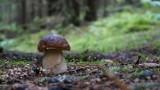 Taaakie grzyby w lasach pod Inowrocławiem znajdują mieszkańcy Kujawsko-Pomorskiego. Zdjęcia naszych Czytelników