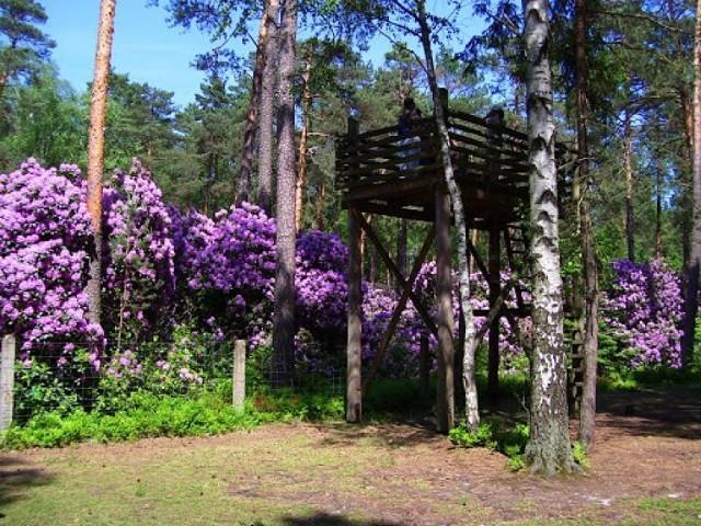 Rezerwat różanecznika w gminie Kochanowice.  Zobacz kolejne zdjęcia. Przesuwaj zdjęcia w prawo - naciśnij strzałkę lub przycisk NASTĘPNE