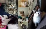 """""""Weź na kolana kota"""" - adoptuj koty i pomóż schronisku w Tomaszowie [ZDJĘCIA]"""