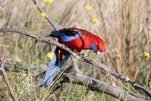Tak wygląda Rozella Królewska. Podobny ptak fruwa od kilku tygodni po Żaganiu