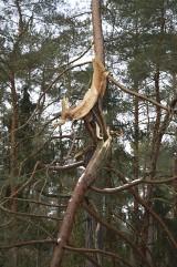 Połamane drzewa przy drodze ze Sztumskiego Pola do Uśnic