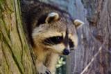 Szop pracz w Żaganiu! Zwierzę było widziane w kilku miejscach! Czy to jeden osobnik, czy może cała rodzina?