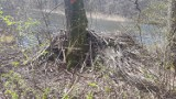 Castor fiber ze Szczecinka. Czy Mysią Wyspę należy przemianować na Bobrową Wyspę? [zdjęcia]