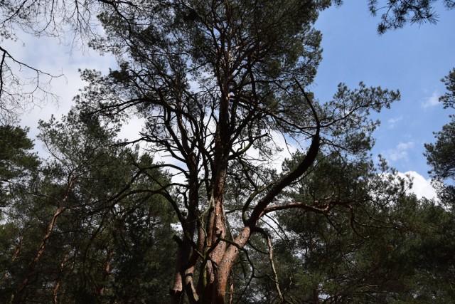 Zakaz wstępu do lasu obowiązuje w okolicy Nowej Soli.