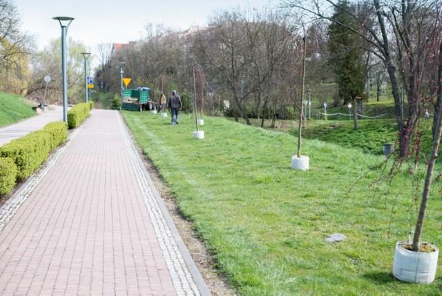 Jednym z miejsc, w którym dokonano w piątek nasadzeń była ścieżka pieszo-rowerowa w obrębie Zamku Królewskiego w Sandomierzu. W tym miejscu posadzono barwną jabłoń jagodową.