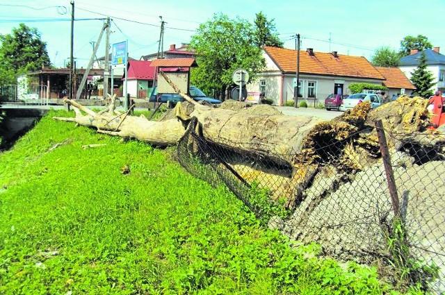Olbrzymi pień drzewa nadal leży na brzegu Uszwicy