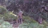 Pod Babią Górą ryś dobierał się do kamery przyrodników [WIDEO]