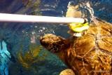 STEFAN JEST KOBIETĄ! 30-letni żółw z wrocławskiego Afrykarium okazał się żółwicą! [FILM]