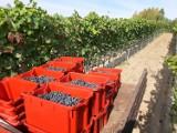 Wina znad szczecineckich jezior. Prawdziwe winnice wracają do naszego regionu [zdjęcia]