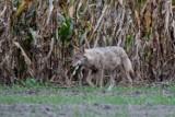 Regionalna Dyrekcja Ochrony Środowiska zgodziła się na umyślne płoszenie lub niepokojenie wilków w gminie Filipów