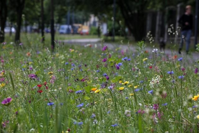 Pod koniec kwietnia miasto kupiło specjalne nasiona, które pozwolą na założenie łąk kwiatowych na powierzchni około 2 tys. metrów kwadratowych.