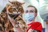 Międzynarodowa wystawa kotów rasowych w Gdańsku. Mruczące piękności zaprezentowały się w postpandemicznym show