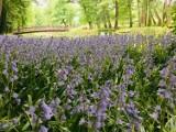 Pleszew. Niebieskie łany kwiatów w Plantach. W parku zakwitło 24 tysiące cebulic dzwonkowatych