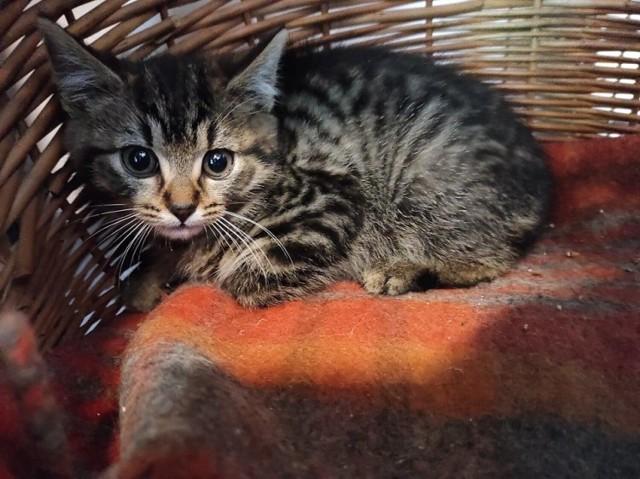 Imię: Płeć: kotka Rasa: europejski Rok urodzenia: 2021 Numer raportu: K3 02-06-2021