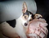 Bydgoszcz. Piesek Mefisto, który uciekł właścicielowi z Bartodziejów, odnalazł się