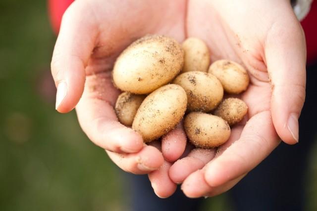 Biedronka będzie sprzedawać tylko polskie ziemniaki i jabłka. Sieć sklepów Biedronka ugięła się pod presją?