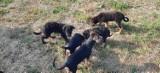 Ktoś porzucił dziewięć szczeniaków w lesie pod Bydgoszczą. Psiaki czekają na adopcję [zdjęcia]
